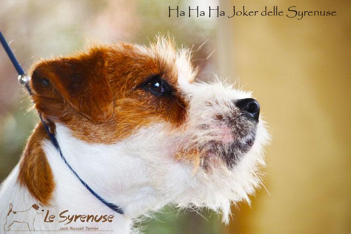 Maschio 6 mesi –  Ha Ha Ha Joker delle Syrenuse – DISPONIBILE