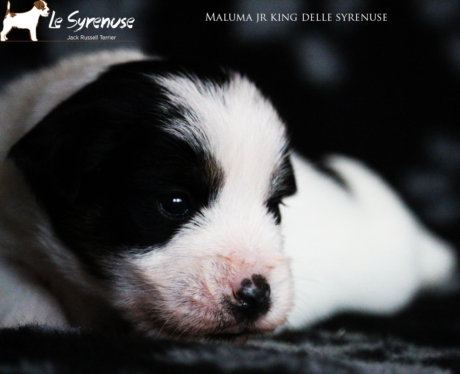 Maschio 1 Maluma Jr King delle Syrenuse
